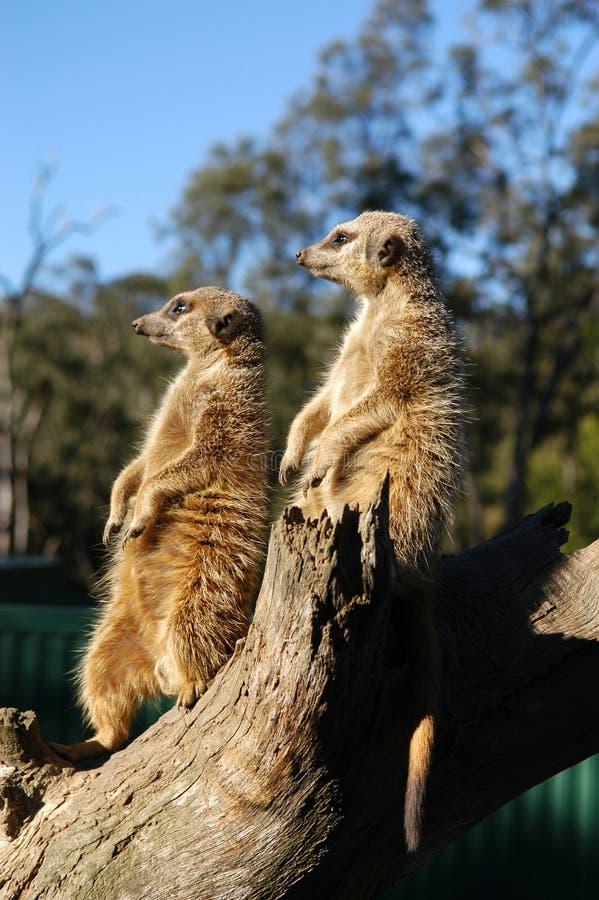 Meerkats op het vooruitzicht stock afbeeldingen