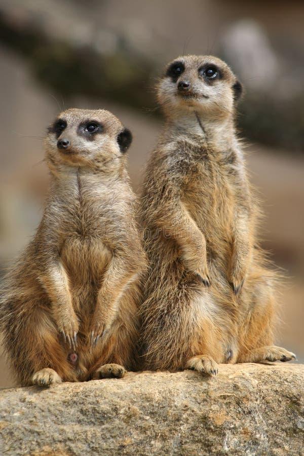 Meerkats op vooruitzicht royalty-vrije stock fotografie