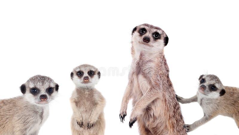 Meerkats op wit royalty-vrije stock foto's