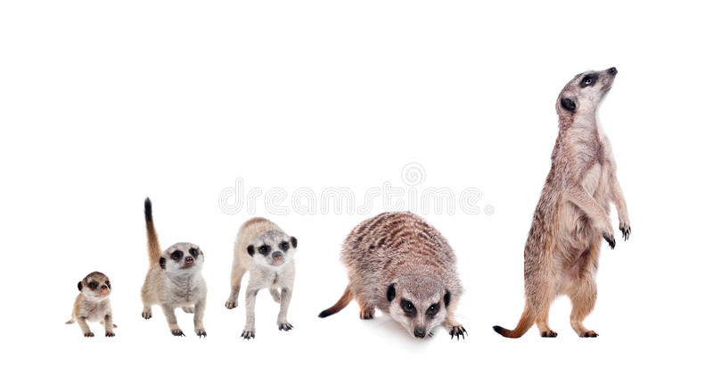 Meerkats op wit stock afbeelding