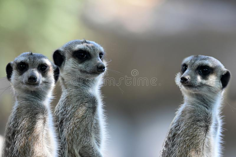 Meerkats ou suricates observant l'entourage images libres de droits