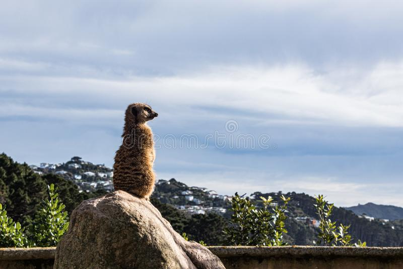 Meerkats overlooking the city on a large rock, overcast sky stock images
