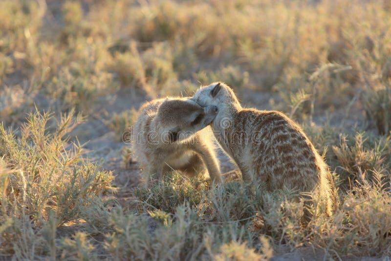 Meerkats que juega con uno a en Botswana/Suráfrica imagen de archivo