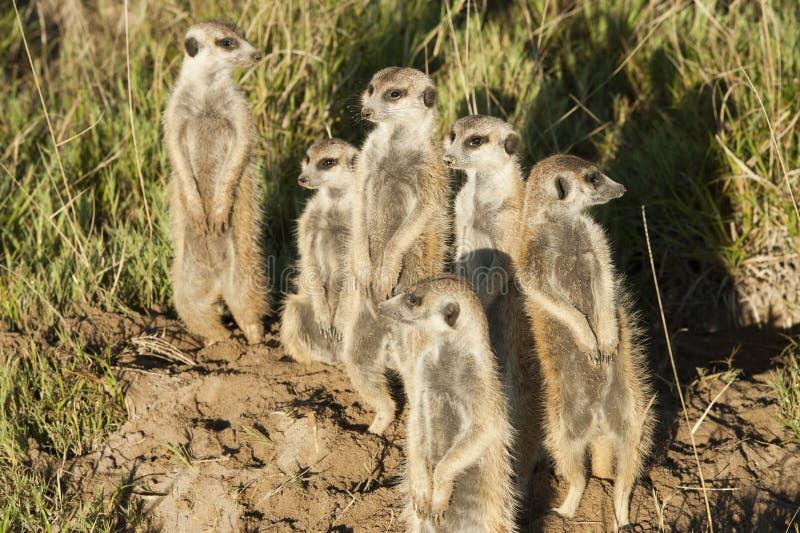 Meerkats que mira hacia fuera en el sol de la mañana fotografía de archivo