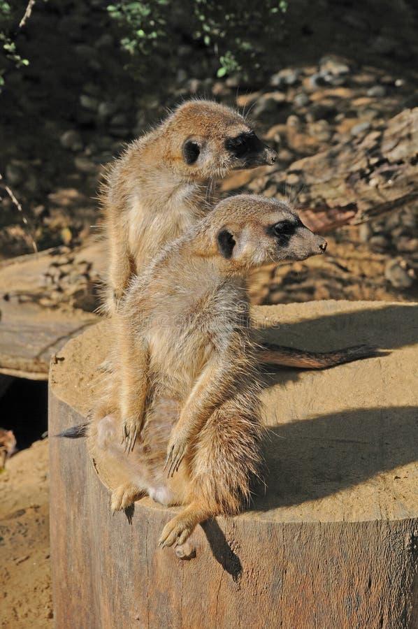 Meerkats que olha simultaneamente para trás fotografia de stock royalty free