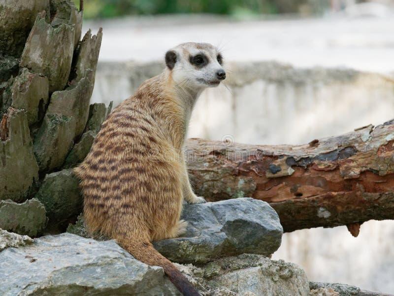 Meerkats que se sienta en el guardia que mira para que peligro se prepare para protegerse en un parque zoológico imágenes de archivo libres de regalías