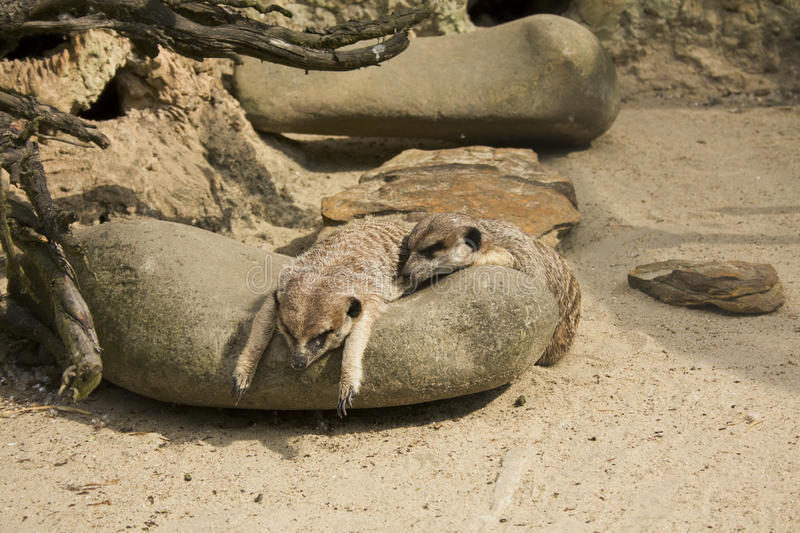 Meerkats relaxing on rock stock photo