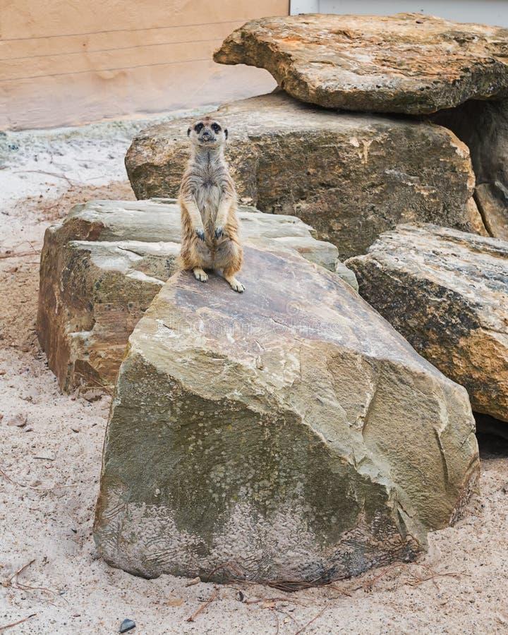 Meerkats on a rock in a park. Mondo Verde, Netherlands stock photo