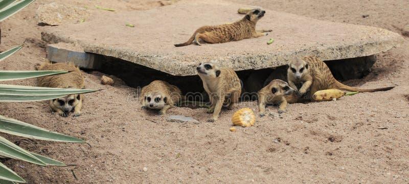 Meerkats sauvages photos stock