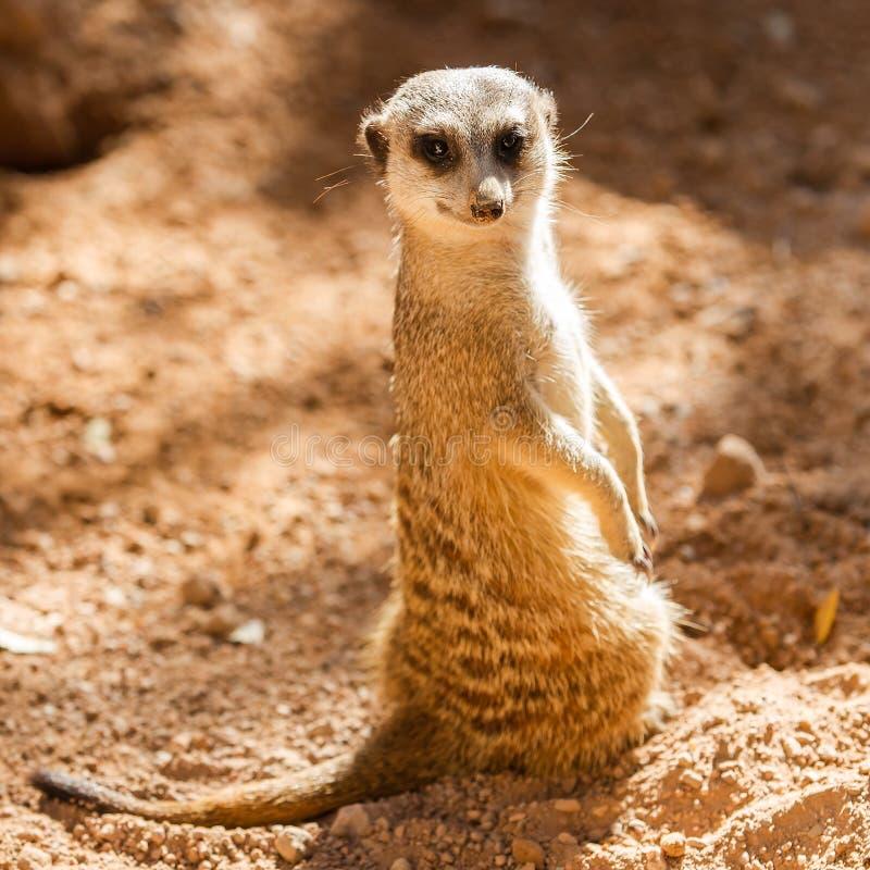 Meerkats sauvages photographie stock libre de droits