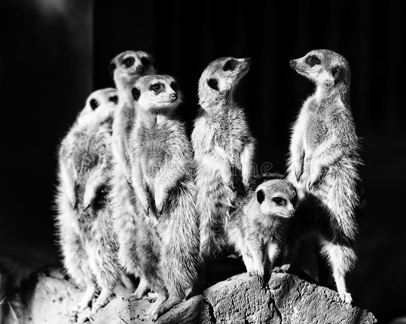 Meerkats six BW image stock