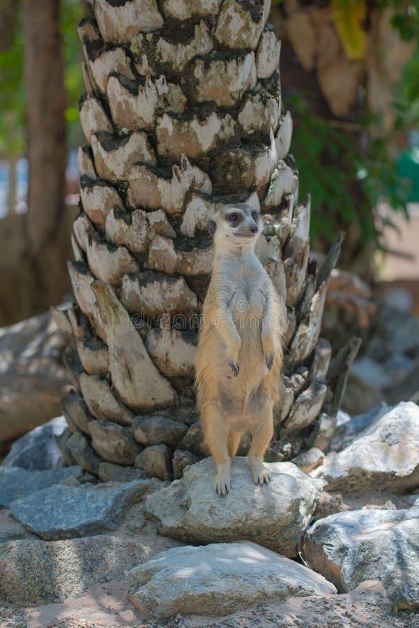 Meerkats Snello-munito sveglio che sta dritto nello zoo fotografie stock