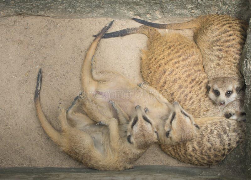 Meerkats sover varma familj royaltyfri fotografi