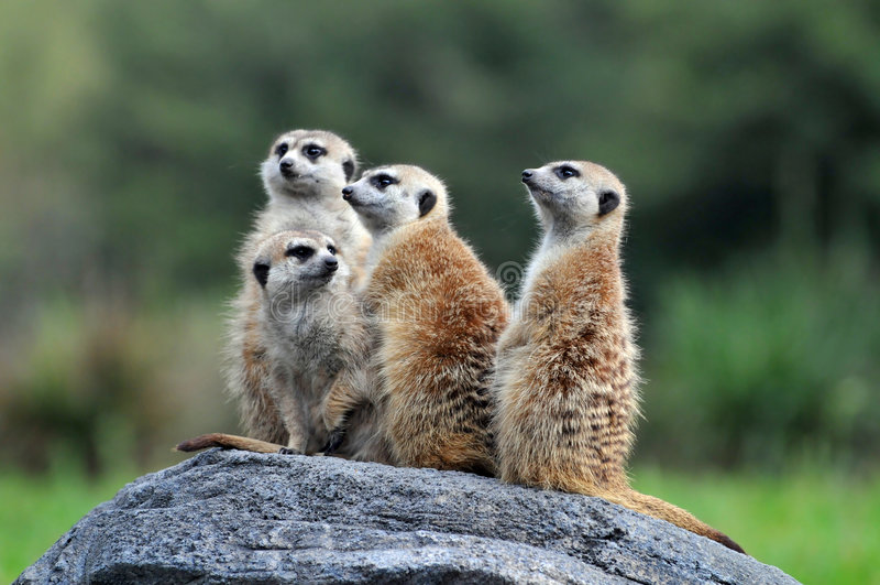 Meerkats Standing on Rock. Group of meerkats standing on Roch royalty free stock images