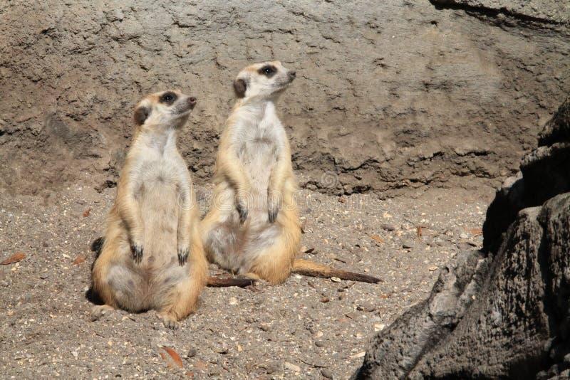 Meerkats stooping looking out for predators. Pair of Meerkats or suricates Suricata suricatta, native to all parts of the Kalahari Desert in Botswana, much of royalty free stock image
