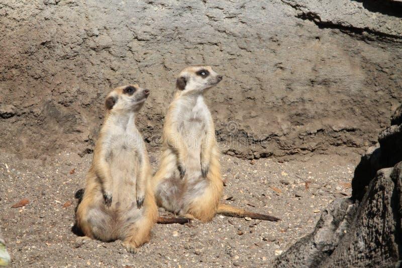 Meerkats stooping looking out for predators. Pair of Meerkats or suricates Suricata suricatta, native to all parts of the Kalahari Desert in Botswana, much of stock photography