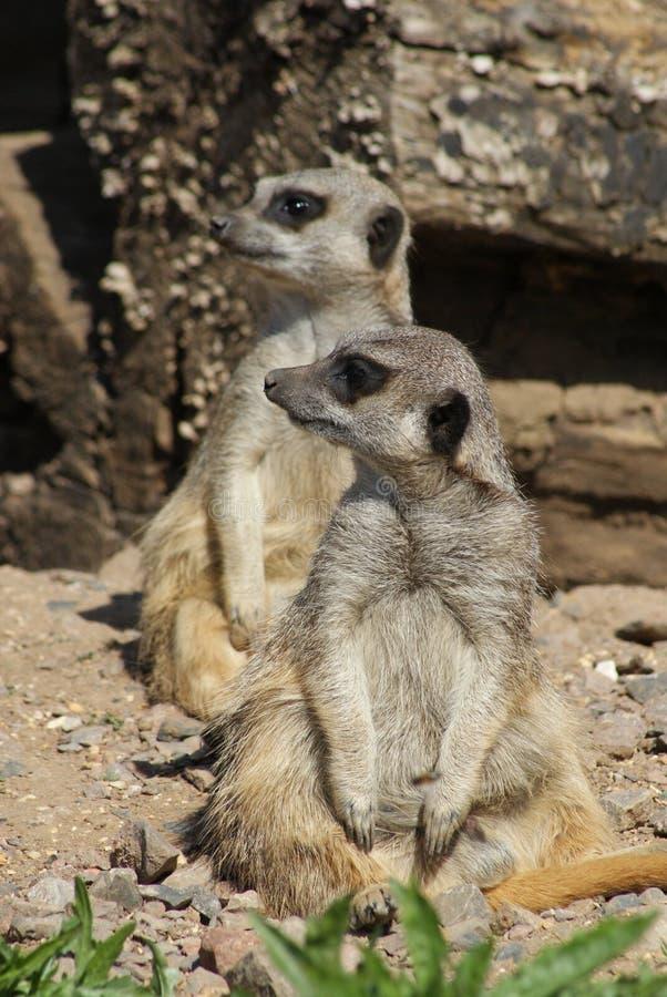 Meerkats sull'allerta fotografia stock libera da diritti