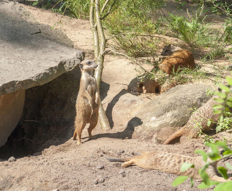 Meerkats in sunny ambiance. Some Meerkats in front of a cave in sunny ambiance stock images