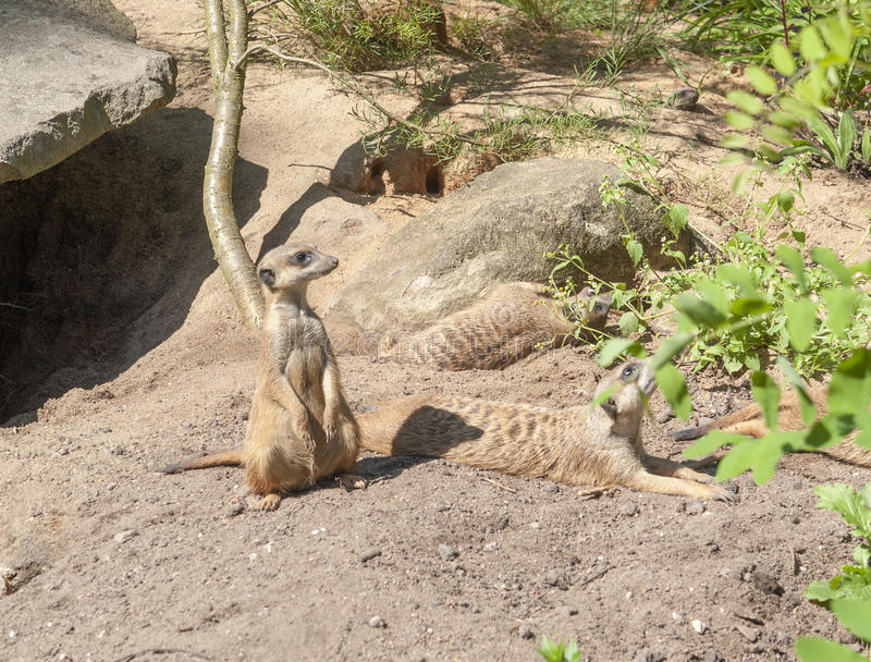 Meerkats in sunny ambiance. Some Meerkats in front of a cave in sunny ambiance stock photos