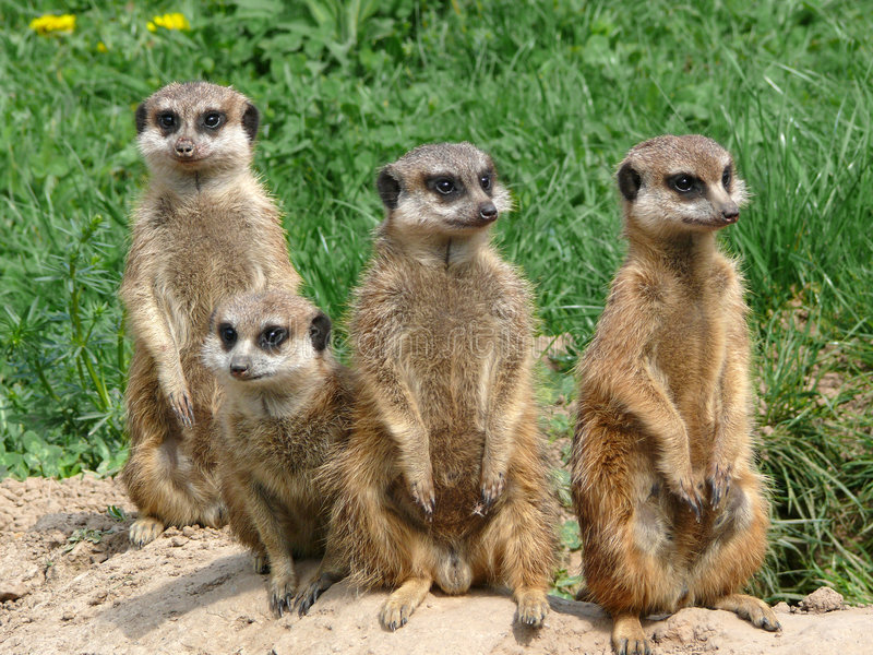 Meerkats - Suricata suricatta royalty free stock photos