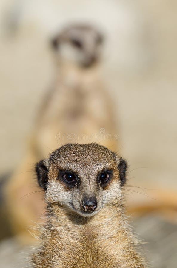 Download Meerkats (suricate) Op Wachtplicht Stock Foto - Afbeelding bestaande uit close, dier: 39113144