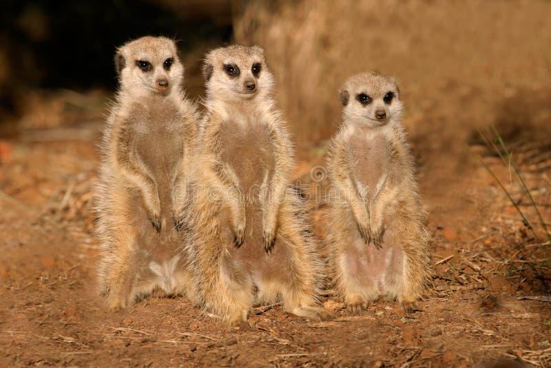 meerkats suricates fotografia stock