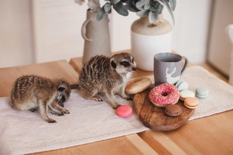 The meerkats or suricates eating sweets and donuts stock photo