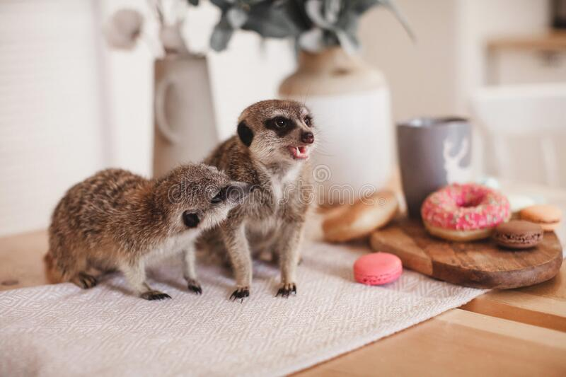 The meerkats or suricates eating sweets and donuts royalty free stock photography