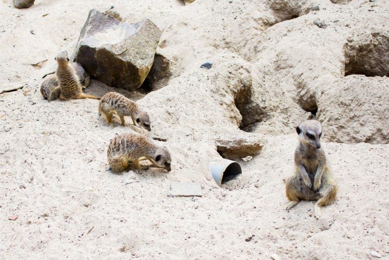 Meerkats, suricati allo zoo di Lille fotografia stock libera da diritti