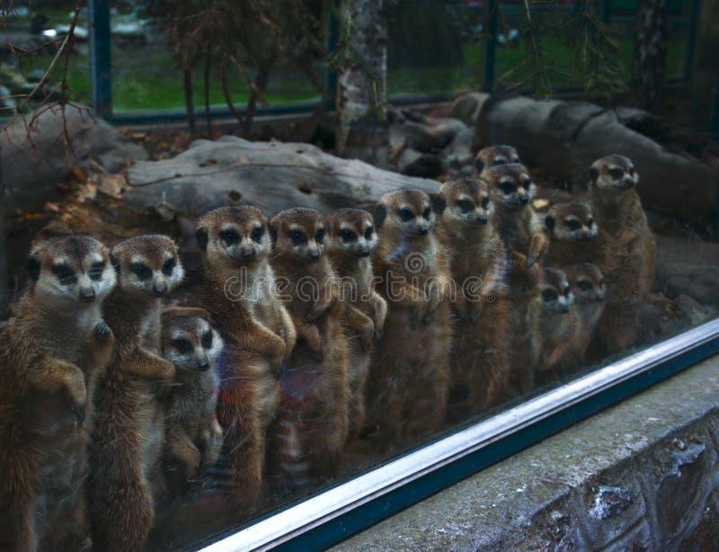 Meerkats z rzędu obrazy royalty free