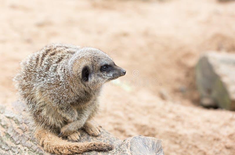 Meerkatzitting op een rots stock afbeeldingen