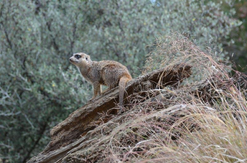 Meerkatzitting op een Stapel Rotsen stock fotografie