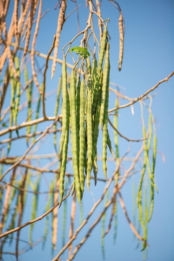 Meerrettich-, Trommelstock- oder Moringa.oleiferafrüchte stockfotos