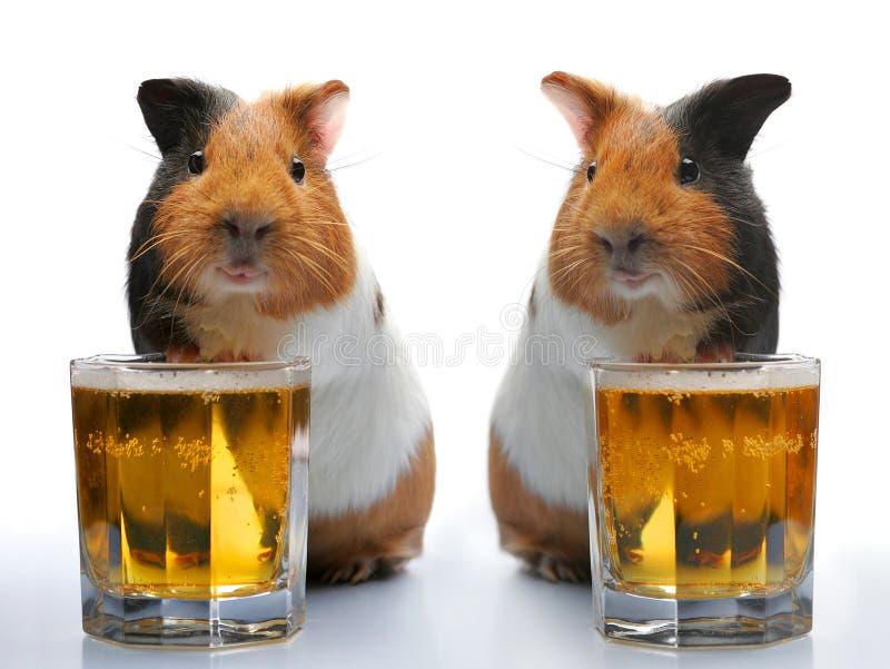 Meerschweinchen und Bier stockfotos