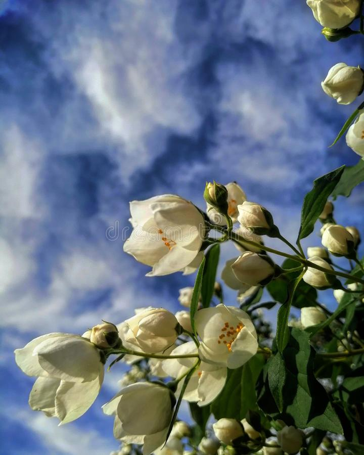 Meet the sky. Whiteflower, flowers, plants, bluesky, pointofview royalty free stock photo