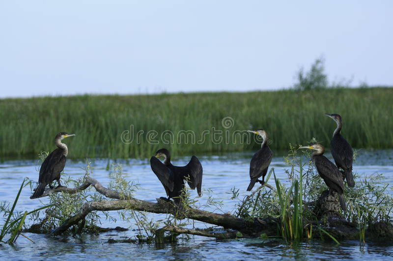 Meeting of the elders. Cormorants in the Danube Delta Natural Reserve, close to where the Danube meets the Black Sea, at Saint Gheorghe royalty free stock photos