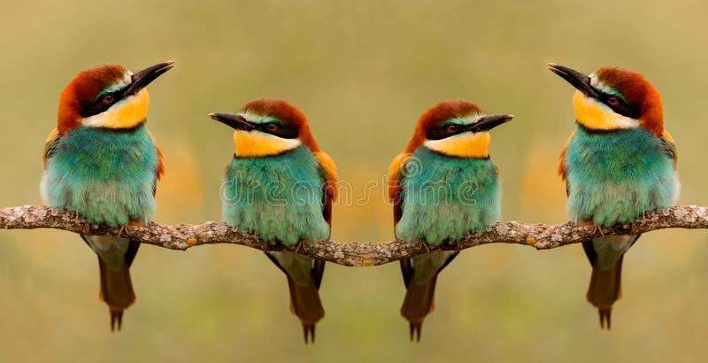 Meeting of four bee-eaters. On a branch stock images