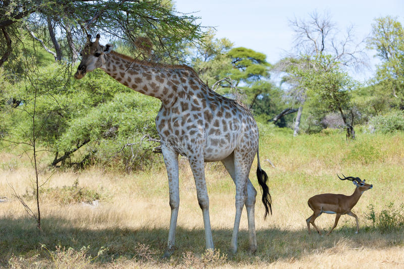 Meeting of Giraffe and scared Impala stock image