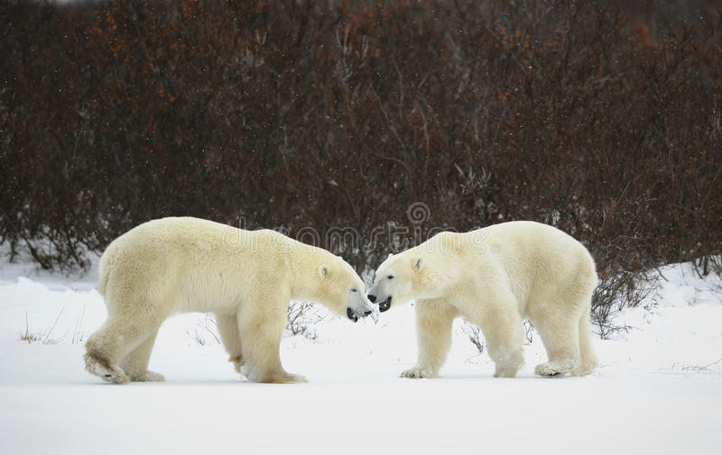 Download Meeting Of Two Polar Bears. Stock Image - Image: 17515515