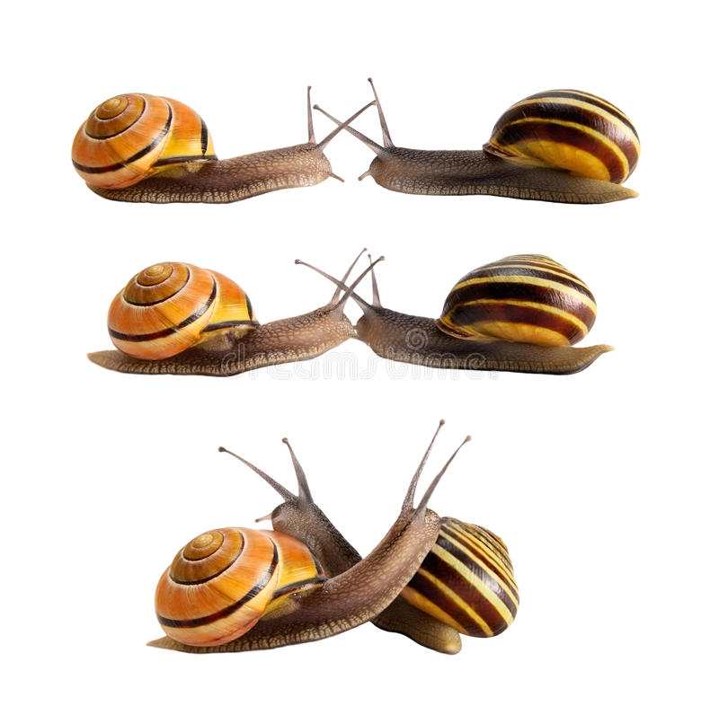 Meeting of two snails stock images