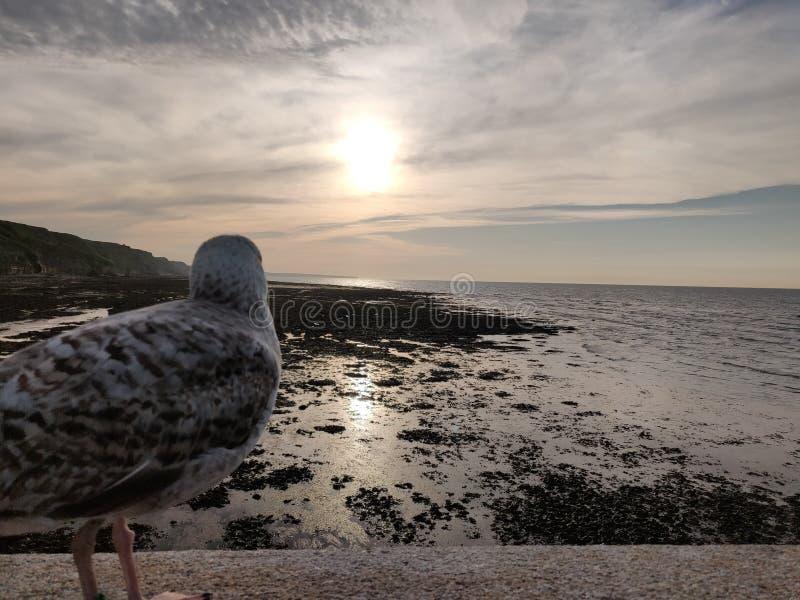 Meeuw die het overzees en de zonsondergang bekijken stock foto