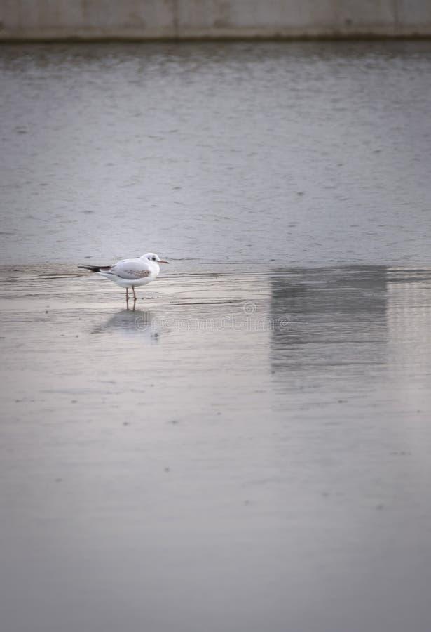 Meeuw die zich op ijs in stedelijk landschap bevinden die bevroren water overdenken royalty-vrije stock afbeeldingen