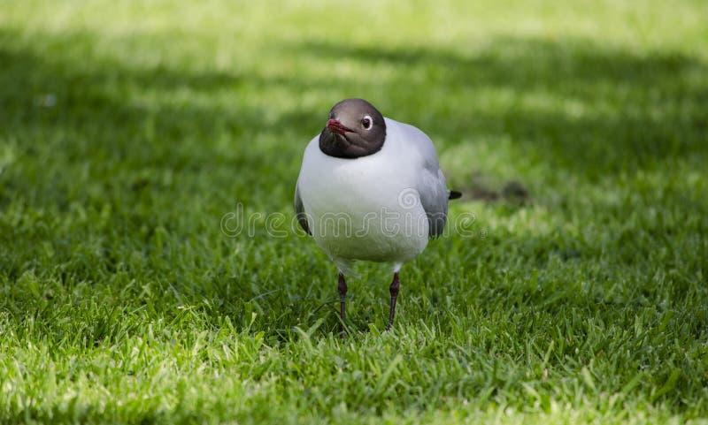 Meeuw met zwarte kop op gras stock afbeelding