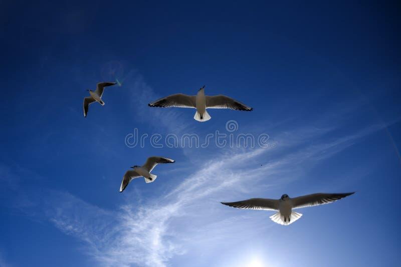 Meeuwen die in de blauwe hemel vliegen Meeuwen die in de blauwe hemel vliegen royalty-vrije stock foto