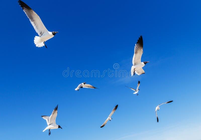 Meeuwen met zwarte kop in birght blauwe hemel stock foto's