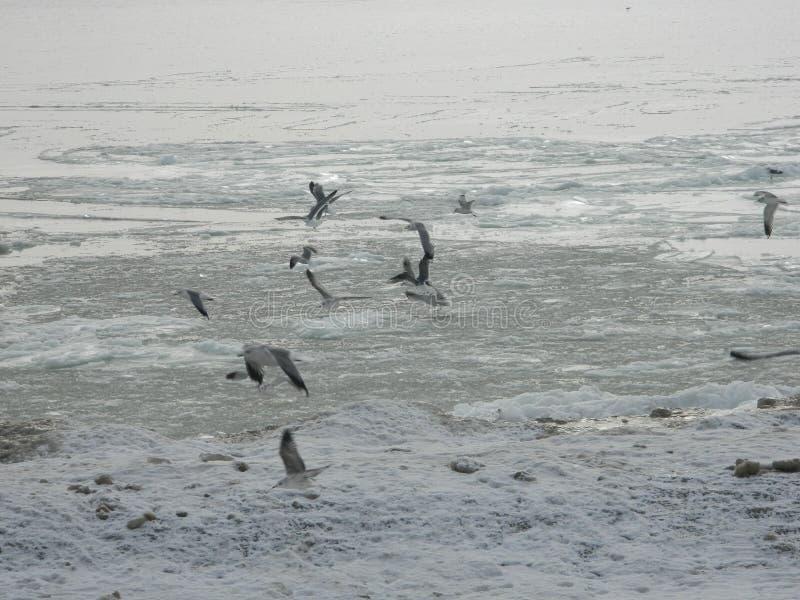 Meeuwen op de kust van een bevroren overzees royalty-vrije stock foto