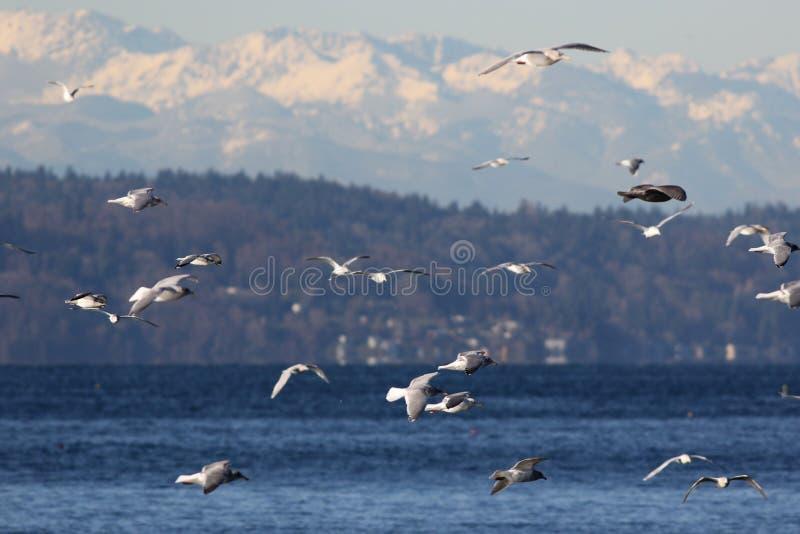 Meeuwen over Puget Sound stock afbeelding