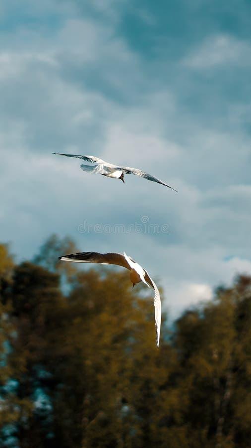 Meeuwen van achter het vliegen samen in een kalm milieu stock foto's