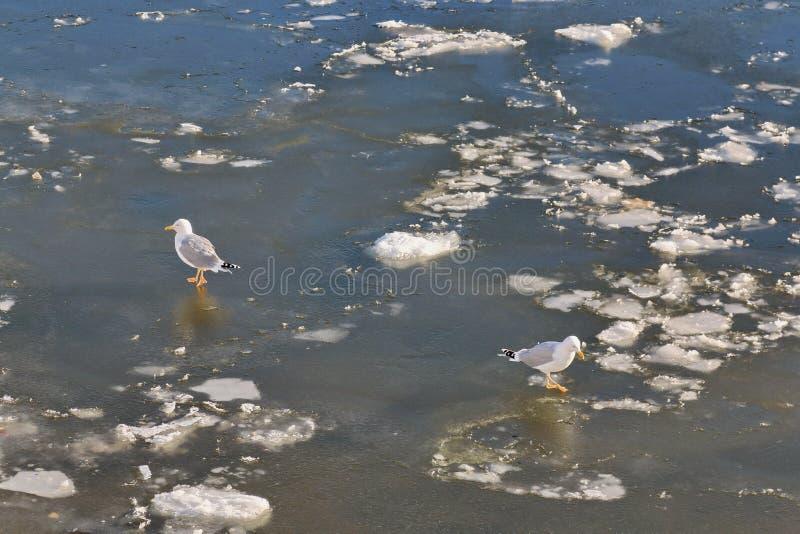 Meeuwengang langs de bevroren rivier in tegenovergestelde richtingen royalty-vrije stock foto