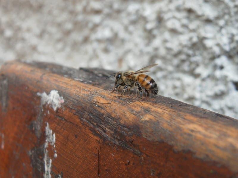 Mega- Foto einer einsamen Biene lizenzfreie stockfotos